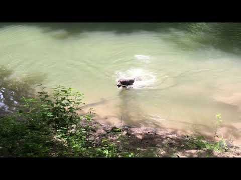 Deerhound learns to swim by taking Uncle's example