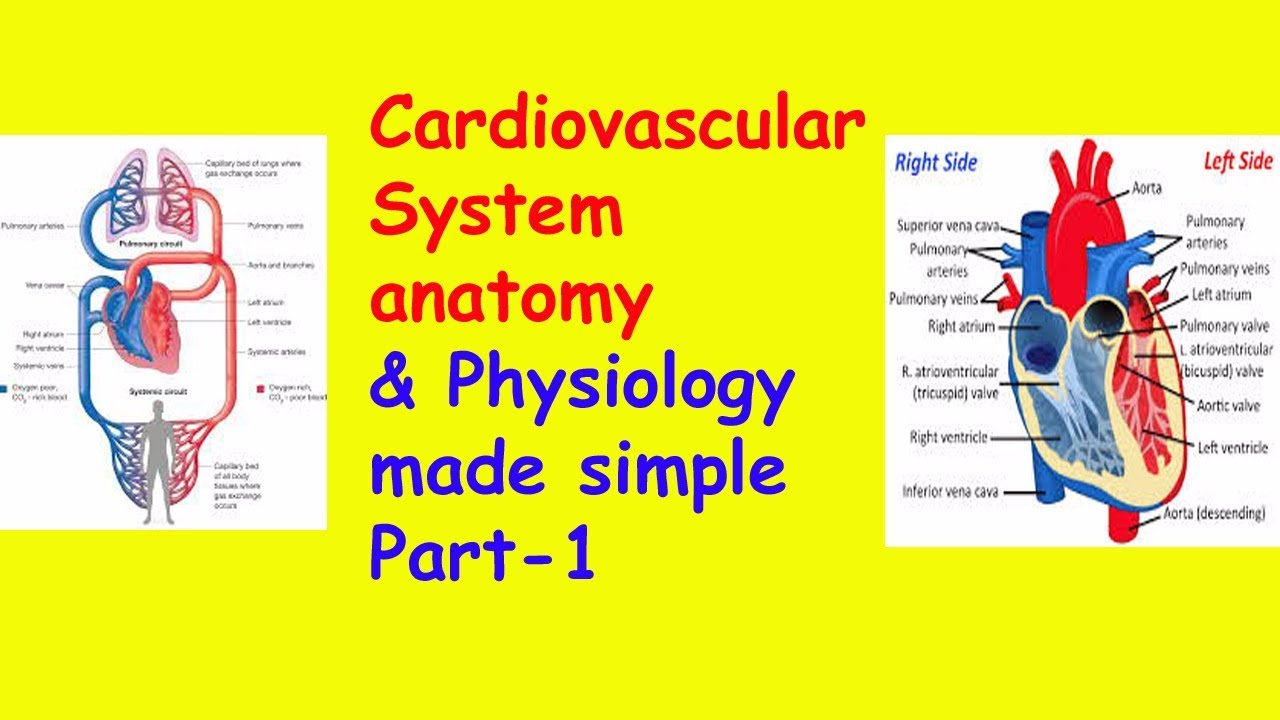 Anatomy & physiology of the circulatory system (heart)-1 heart ...