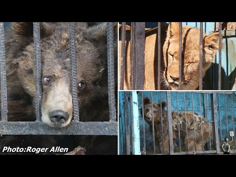 Inside the world's saddest zoo: Horror pictures show starving bears and lions abandoned