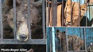 inside the worlds saddest zoo horror pictures show starving bears and lions abandoned