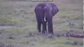 Słoń afrykanski   wodopój Tembe Afryka