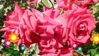 Роза флорибунда Сомбреро. Краткий обзор, описание характеристик, где купить саженцы Sombrero
