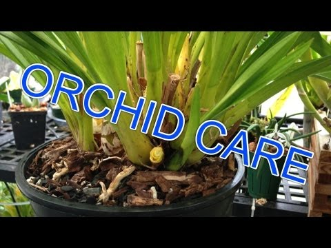 Cymbidium Orchid Care How To Remove Old Bloom Spikes
