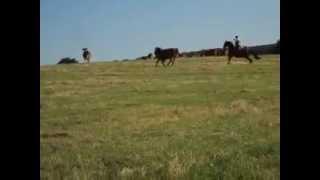tri d'un taureau pour le sortir du troupeau