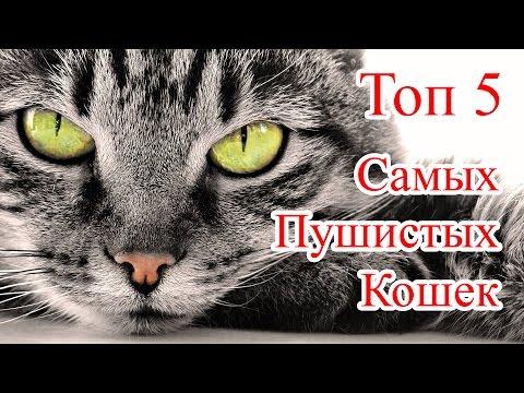 Мейн-кун – популярная порода крупных американских кошек | Краткое описание и фото породы мэйн кун