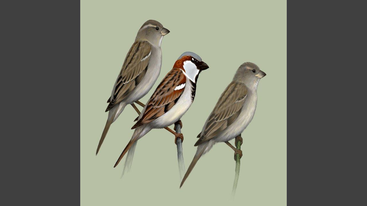 Bird call Sparrow Wrbel  YouTube