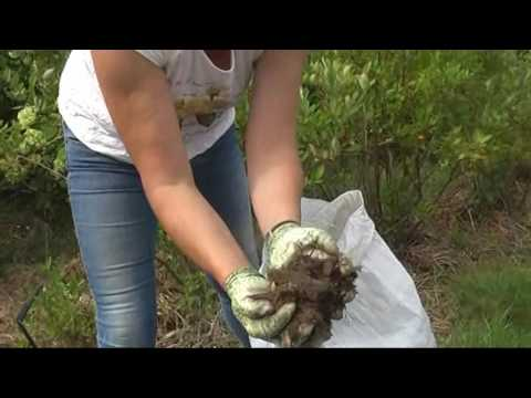 Как приготовить субстрат для посадки голубики