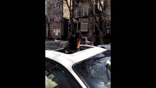Howling Rottweiler In Ukrainian Village, Chicago