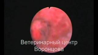 Опухоль мочевого пузыря у собаки. Цистоскопия