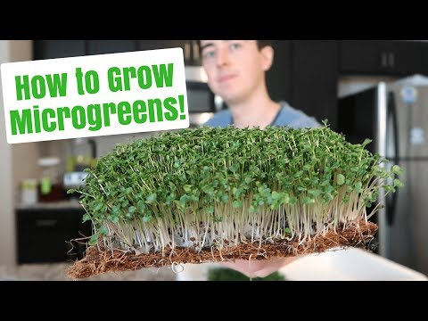 How to Grow Microgreens at Home ~ No Soil