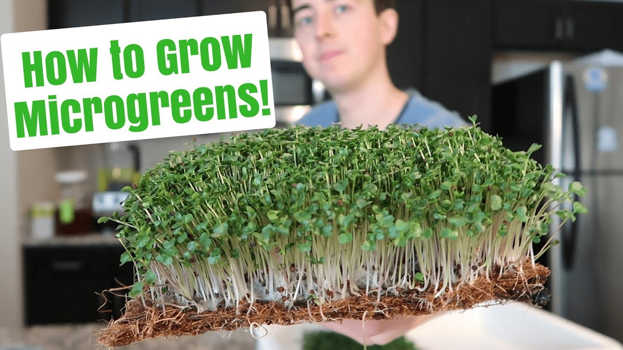 How to Grow Microgreens at Home ~ No Soil - YouTube