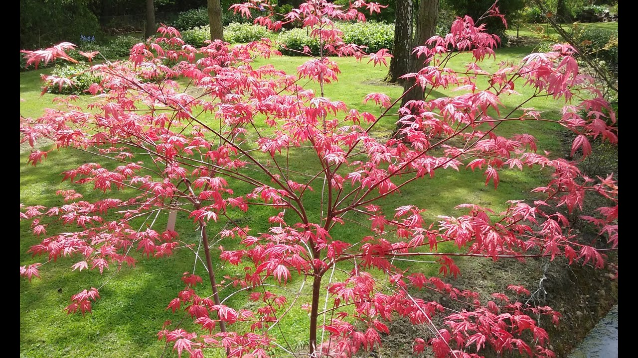 Acer Palmatum Deshojo Japanese Maple Youtube