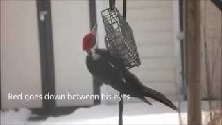 Pileated Woodpecker at my Bird Feeder