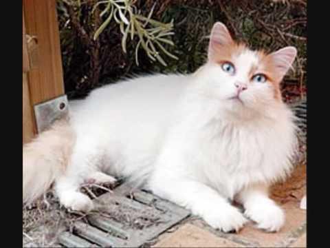Turkish Van Cat - TurkishAnimals D.C.A