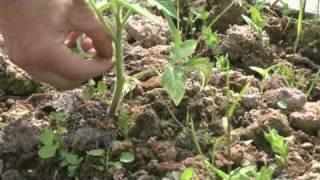 Пасынкование томатов ( видео )(Пасынкование томатов ( видео ) - видеоиллюстрация к записи в блоге сайта Abc2home.ru: http://www.abc2home.ru/articles/blog2.html., 2010-05-27T00:01:50.000Z)