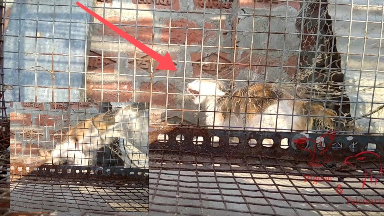 Catching big wild cat😸🐱🙀 with pigeon net   honey bee🐝 and pigeon together   cat vs pigeon 😜