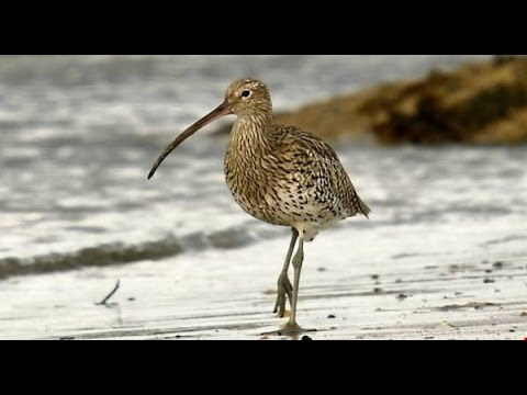 Birds of Ireland: The Curlew & its haunting song