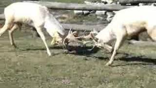 Fallow Deer Males Fight Part 1