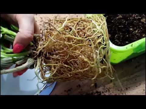 29. Моя новая орхидея Dendrobium Nobile! Что делать с реанимашками? Обзор всех орхидей на июль