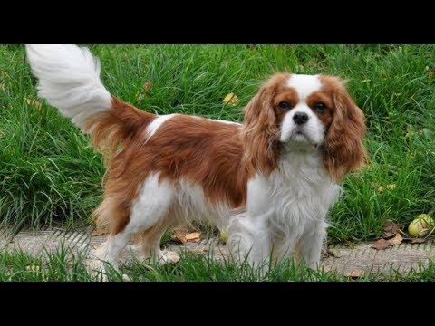 "Хочу собаку - Кавалер кинг чарльз спаниель | Телеканал ""Мама"""