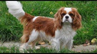 Хочу собаку - Кавалер кинг чарльз спаниель | Телеканал