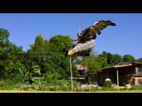 falcon decoy  เหยี่ยวปลอม  ไว้ไล่นกที่จะมากินข้าวในนา