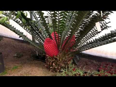 Barry Landau - Encephalartos Ferox In Bloom At Rainforest Flora, Inc.