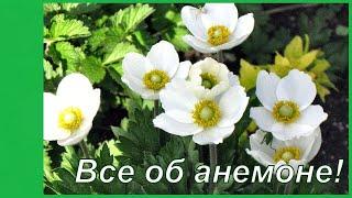 Танцующий цветок - ветренница.  Выращивание анемонывесенние и осенние виды, посадка и уход.