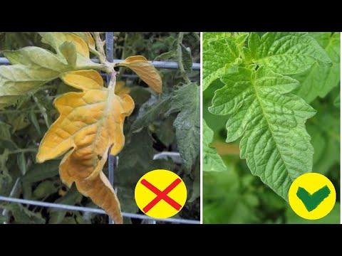 Чтобы не вяла и не желтела рассада помидор после высадки в грунт. Закаливание рассады томатов