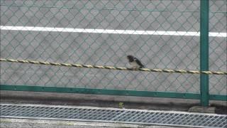 駐車場のロープに子ツバメ♪巣に戻ります。