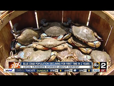 Local crabbers worried about drop in blue crab harvest; juvenile crustaceans are down 54%