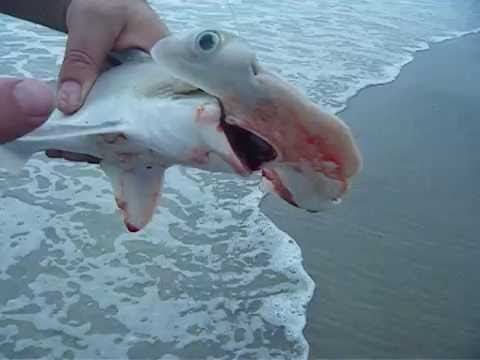 Hammerhead shark fishing cocoa beach florida fl fishing for Shark fishing in florida