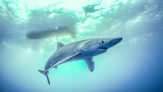Diving with BLUE SHARKS in the Azores! Sailing Vessel Delos Ep.253