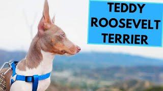 Teddy Roosevelt Terrier  TOP 10 Interesting Facts