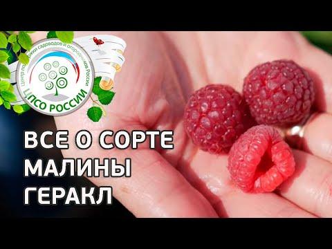 Сорт малины Геракл.  Ремонтантная малина Геракл, описание и особенности сорта. | выращивание | вырастить | открытый | малиной | россии | огород | малины | малина | геракл | сорта