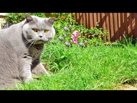 British Shorthair Cats on a Garden Adventure