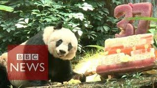 Oldest panda Jia Jia's birthday celebrated in Hong Kong - BBC News