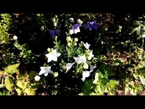 Платикодон, -три названия одного растения. 2018 # мой сад # платикодон