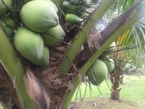 Dwarf coconut. Very high yielding. Fresh Buco from your backyard.