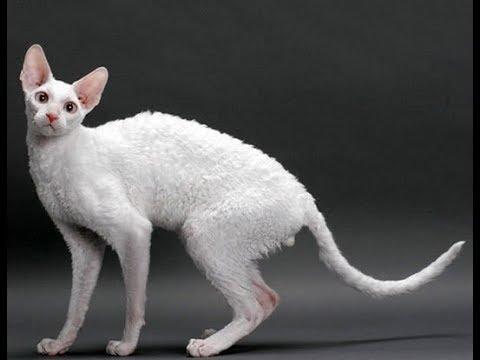 8 Most Bizarre Cat Breeds Ever