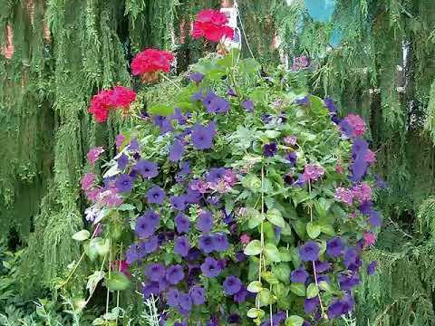 Get To Know Vinca Vine Part Sun Loving Plants Youtube