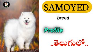 Samoyed Dog Breed Profile and Basic Information in Telugu |Dogs Channel TELUGU|