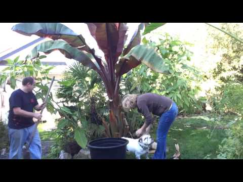 Fall Gardening PT 2/3: Moving Giant Red Banana & Taros Disaster! / Over Wintering Tropical Plants