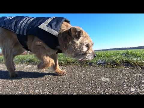 Border Terrier Jack A DOG'S LIFE