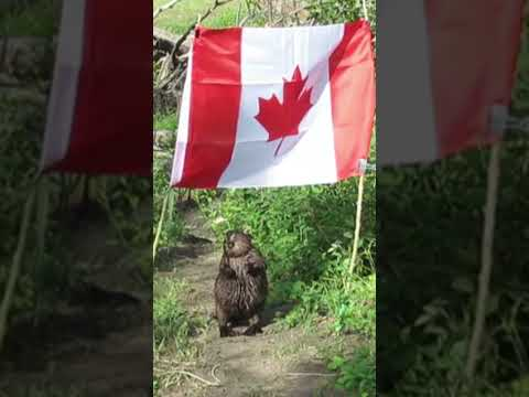 Only in Canada? Beaver takes down Canadian flag, eats the flagpole #shorts