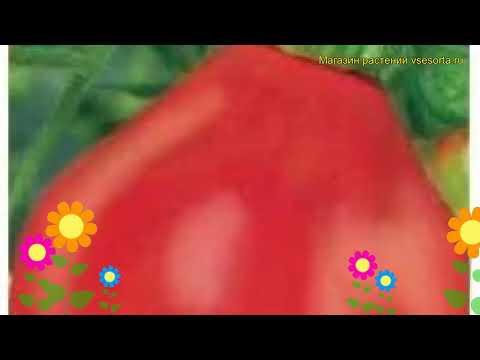 Томат обыкновенный Иван Купала. Краткий обзор, описание характеристик, где купить семена