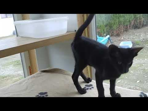 EBONY ORIENTAL SHORTHAIR KITTEN AVAILABLE