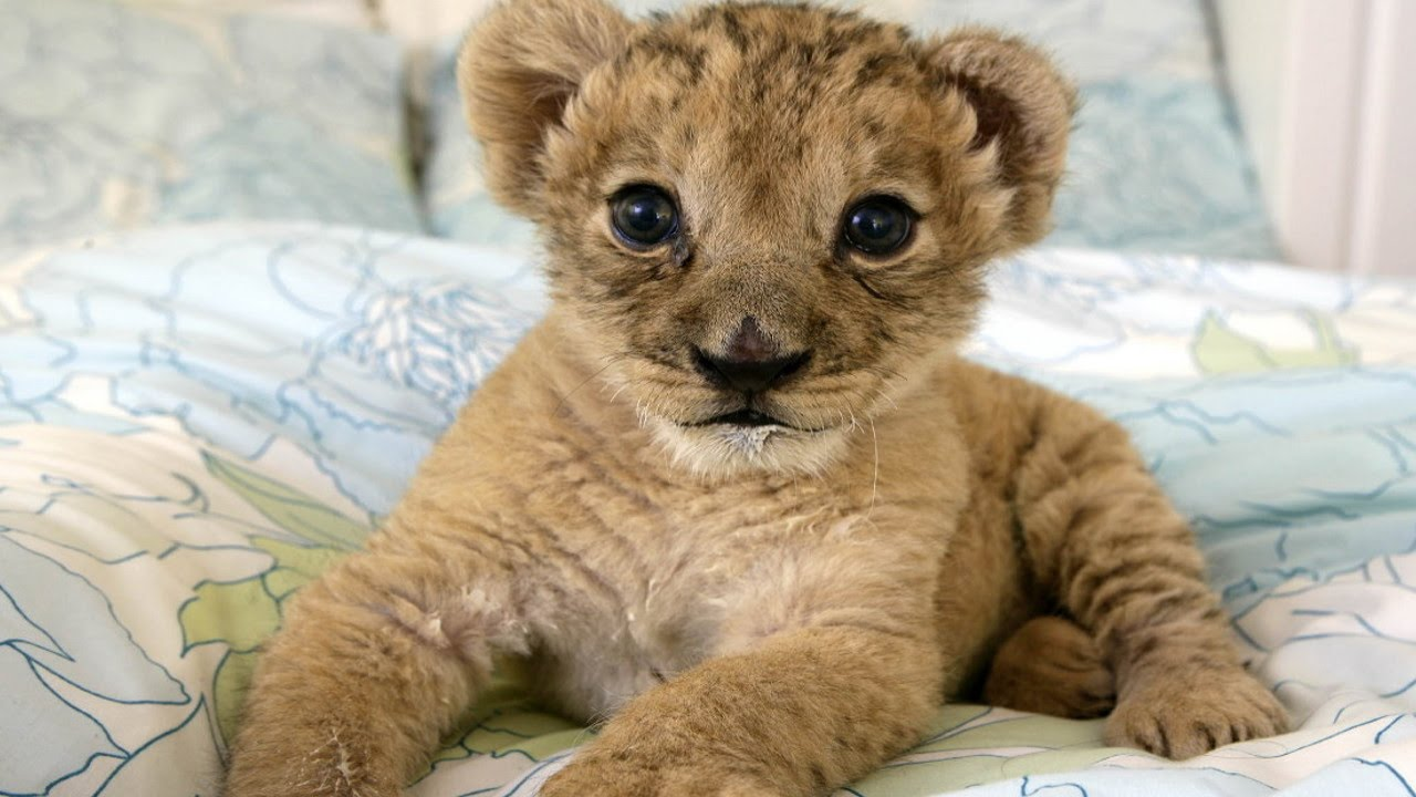 #1 Best Cute Baby Lion Cubs Compilation ADORABLE!! - YouTube