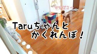 【かくれんぼ】一生懸命ママをさがす!!トイプードルのTaruto thumbnail
