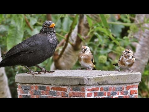 Video For Cats - Birds in An English Country Garden